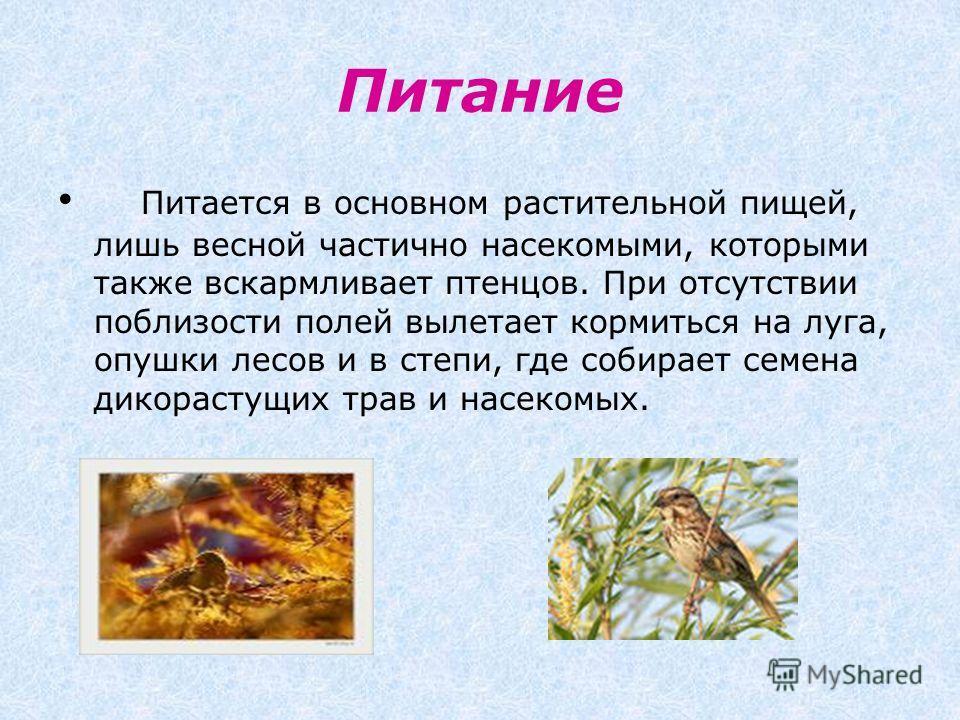 Питание Питается в основном растительной пищей, лишь весной частично насекомыми, которыми также вскармливает птенцов. При отсутствии поблизости полей вылетает кормиться на луга, опушки лесов и в степи, где собирает семена дикорастущих трав и насекомы