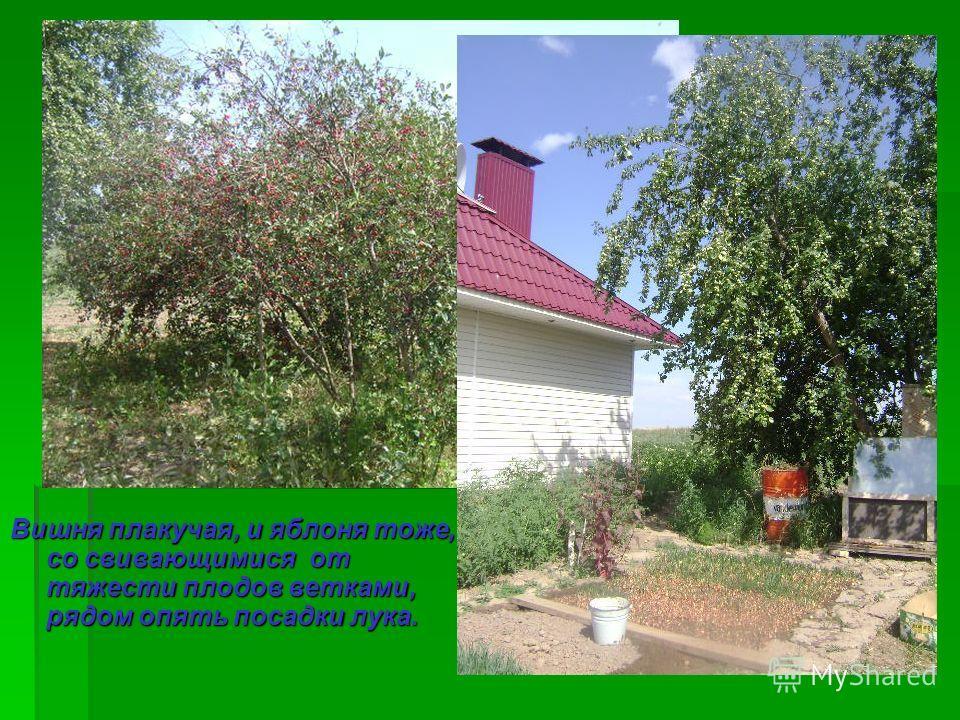 Вишня плакучая, и яблоня тоже, со свивающимися от тяжести плодов ветками, рядом опять посадки лука.