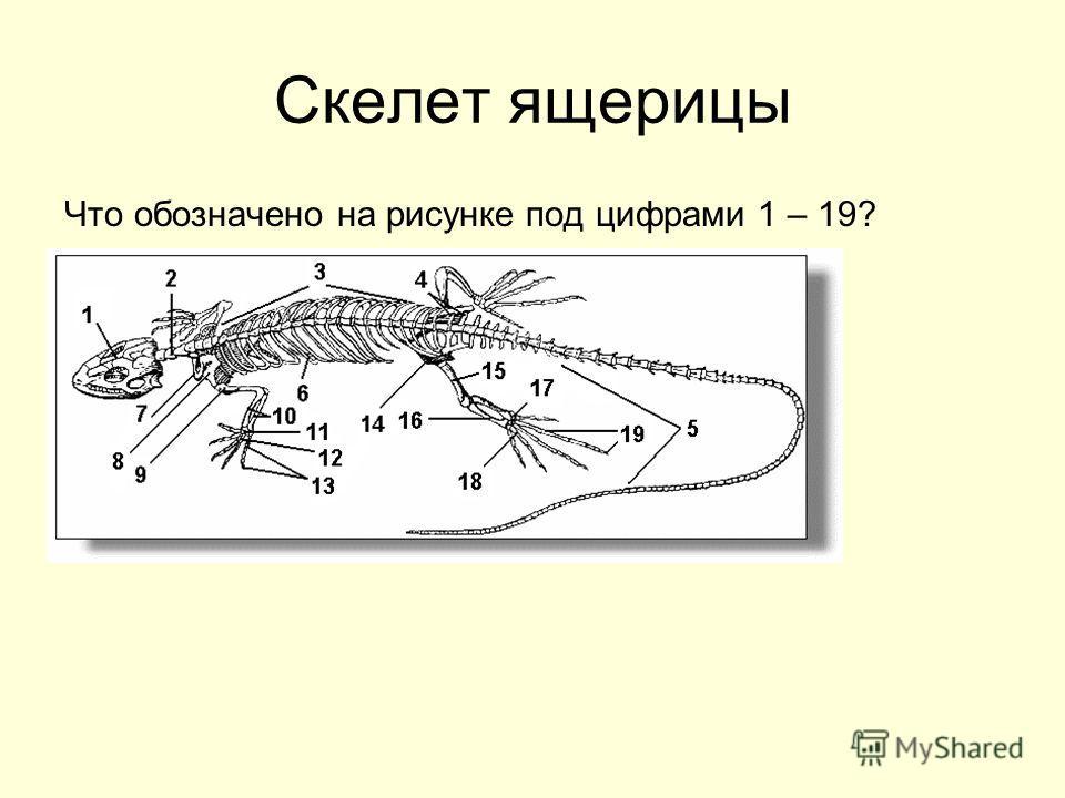Скелет ящерицы Что обозначено на рисунке под цифрами 1 – 19?