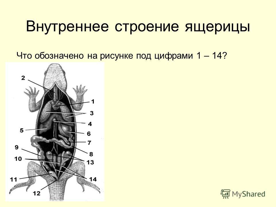 Внутреннее строение ящерицы Что обозначено на рисунке под цифрами 1 – 14?