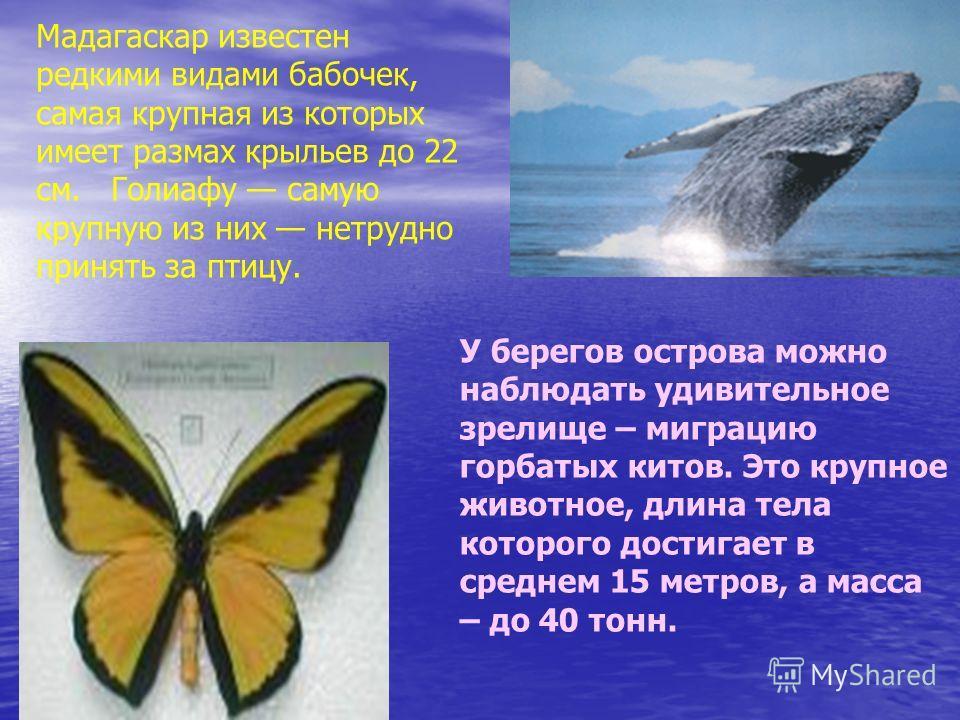 Мадагаскар известен редкими видами бабочек, самая крупная из которых имеет размах крыльев до 22 см. Голиафу самую крупную из них нетрудно принять за птицу. У берегов острова можно наблюдать удивительное зрелище – миграцию горбатых китов. Это крупное