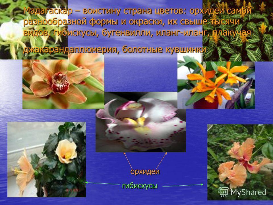 Мадагаскар – воистину страна цветов: орхидеи самой разнообразной формы и окраски, их свыше тысячи видов, гибискусы, бугенвилли, иланг-иланг, плакучая джакарандаплюмерия, болотные кувшинки орхидеи гибискусы
