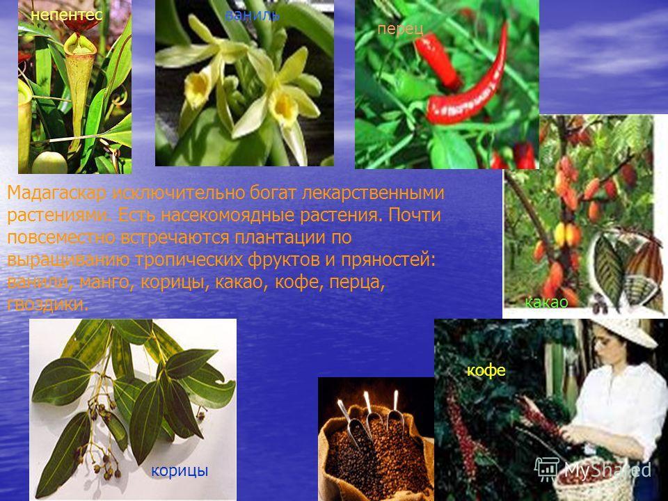 Мадагаскар исключительно богат лекарственными растениями. Есть насекомоядные растения. Почти повсеместно встречаются плантации по выращиванию тропических фруктов и пряностей: ванили, манго, корицы, какао, кофе, перца, гвоздики. ваниль кофе какао пере
