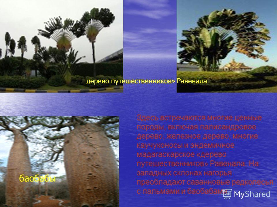 Здесь встречаются многие ценные породы, включая палисандровое дерево, железное дерево, многие каучуконосы и эндемичное мадагаскарское «дерево путешественников» Равенала. На западных склонах нагорья преобладают саванновые редколесья с пальмами и баоба
