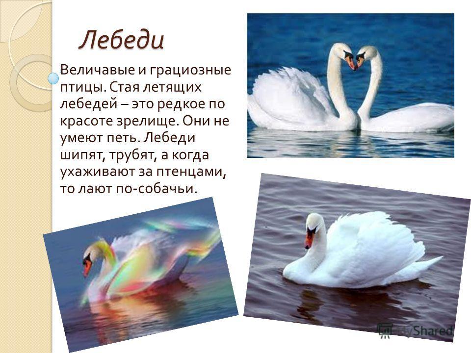 Лебеди Величавые и грациозные птицы. Стая летящих лебедей – это редкое по красоте зрелище. Они не умеют петь. Лебеди шипят, трубят, а когда ухаживают за птенцами, то лают по - собачьи.