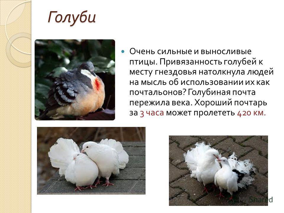 Голуби Очень сильные и выносливые птицы. Привязанность голубей к месту гнездовья натолкнула людей на мысль об использовании их как почтальонов ? Голубиная почта пережила века. Хороший почтарь за 3 часа может пролететь 420 км.