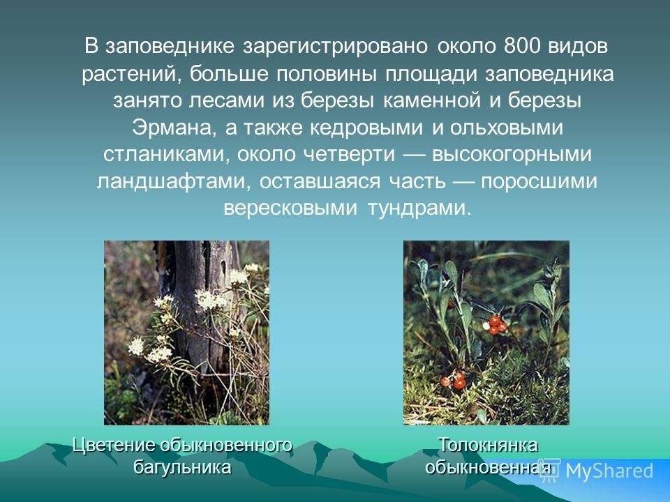 В заповеднике зарегистрировано около 800 видов растений, больше половины площади заповедника занято лесами из березы каменной и березы Эрмана, а также кедровыми и ольховыми стланиками, около четверти высокогорными ландшафтами, оставшаяся часть поросш
