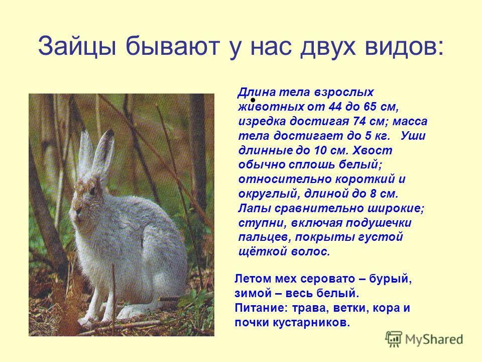 Зайцы бывают у нас двух видов: Длина тела взрослых животных от 44 до 65 см, изредка достигая 74 см; масса тела достигает до 5 кг. Уши длинные до 10 см. Хвост обычно сплошь белый; относительно короткий и округлый, длиной до 8 см. Лапы сравнительно шир