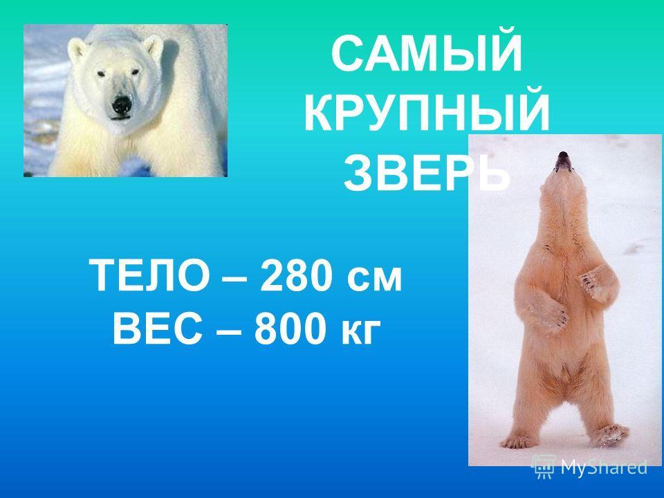 САМЫЙ КРУПНЫЙ ЗВЕРЬ ТЕЛО – 280 см ВЕС – 800 кг