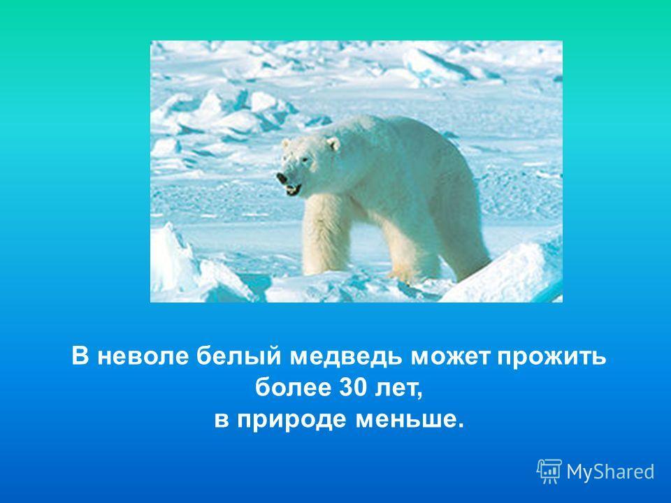 В неволе белый медведь может прожить более 30 лет, в природе меньше.