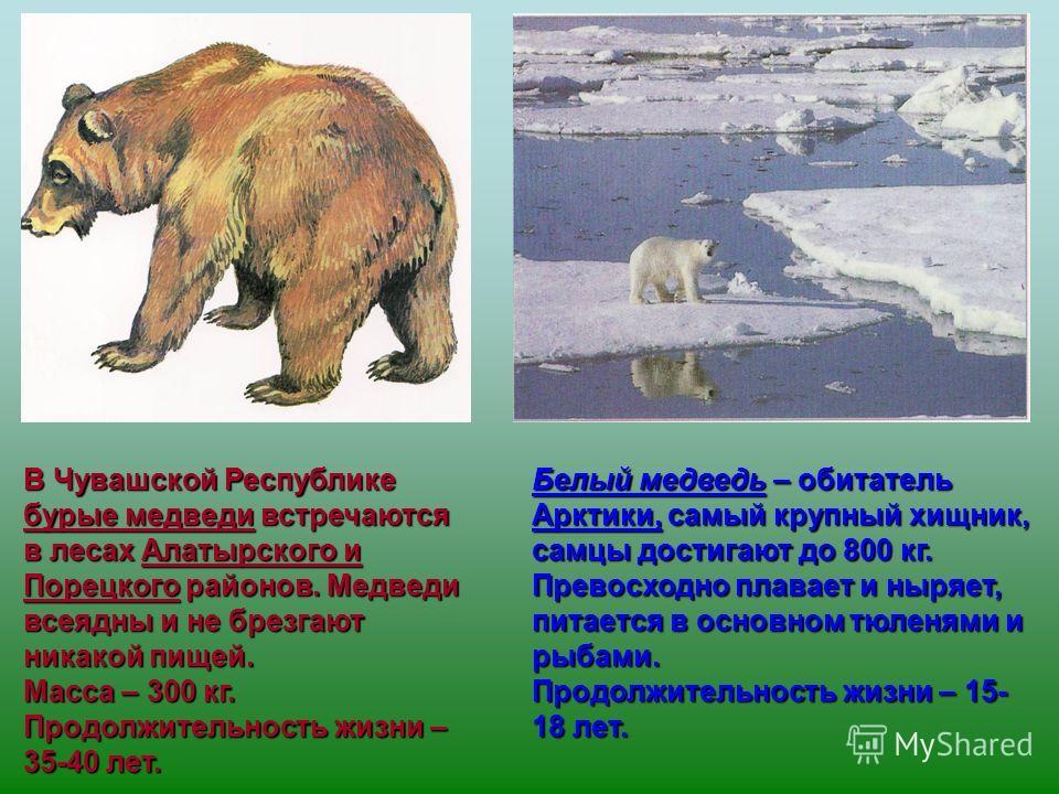 Белый медведь – обитатель Арктики, самый крупный хищник, самцы достигают до 800 кг. Превосходно плавает и ныряет, питается в основном тюленями и рыбами. Продолжительность жизни – 15- 18 лет. В Чувашской Республике бурые медведи встречаются в лесах Ал
