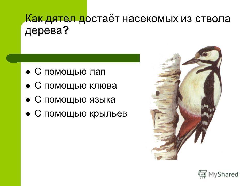 Как дятел достаёт насекомых из ствола дерева? С помощью лап С помощью клюва С помощью языка С помощью крыльев