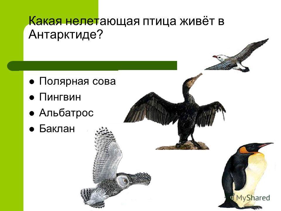 Какая нелетающая птица живёт в Антарктиде? Полярная сова Пингвин Альбатрос Баклан