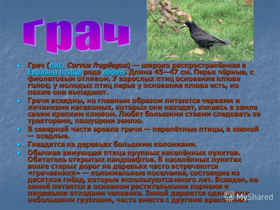 Грач (лат. Corvus frugilegus) широко распространённая в Евразии птица рода во́рон. Длина 4547 см. Перья чёрные, с фиолетовым отливом. У взрослых птиц основание клюва голое; у молодых птиц перья у основания клюва есть, но позже они выпадают. Грач (лат