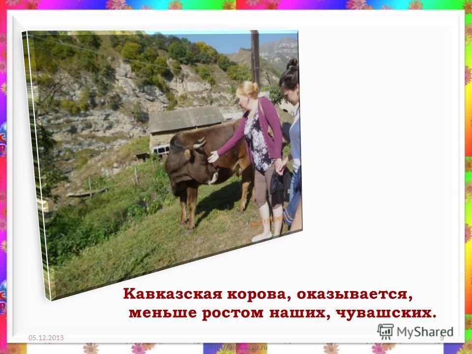 05.12.20139 Кавказская корова, оказывается, меньше ростом наших, чувашских.