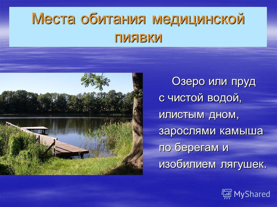 Места обитания медицинской пиявки Озеро или пруд Озеро или пруд с чистой водой, илистым дном, зарослями камыша по берегам и изобилием лягушек.
