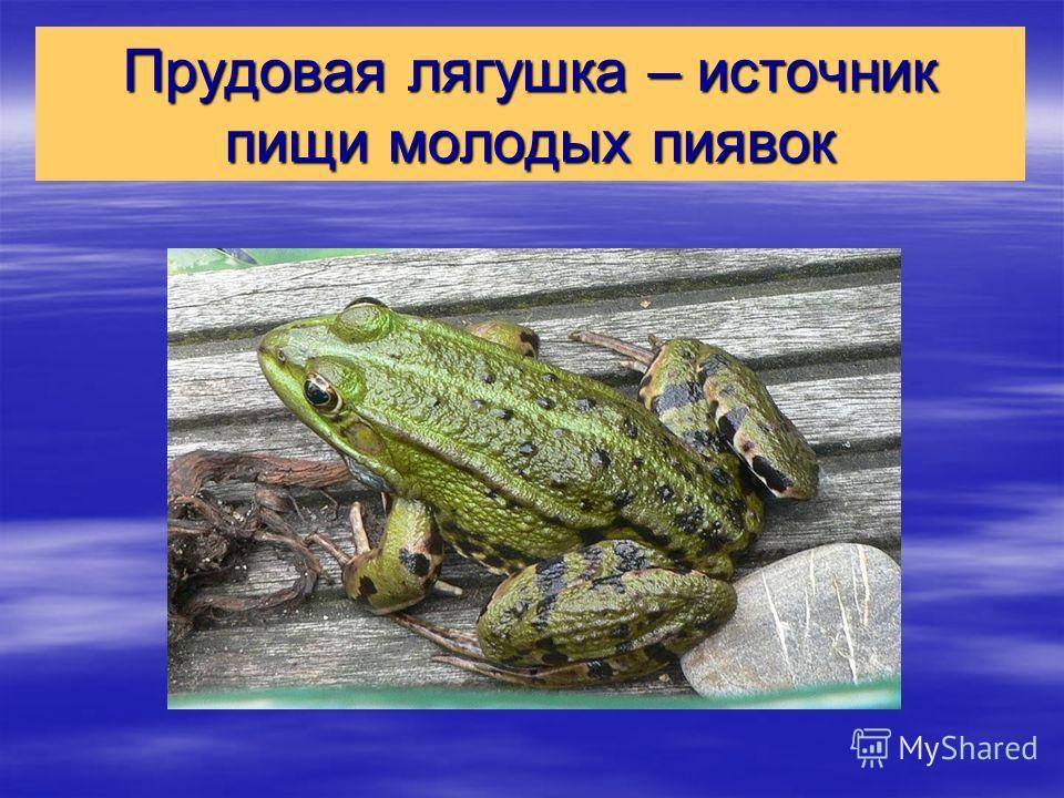 Прудовая лягушка – источник пищи молодых пиявок