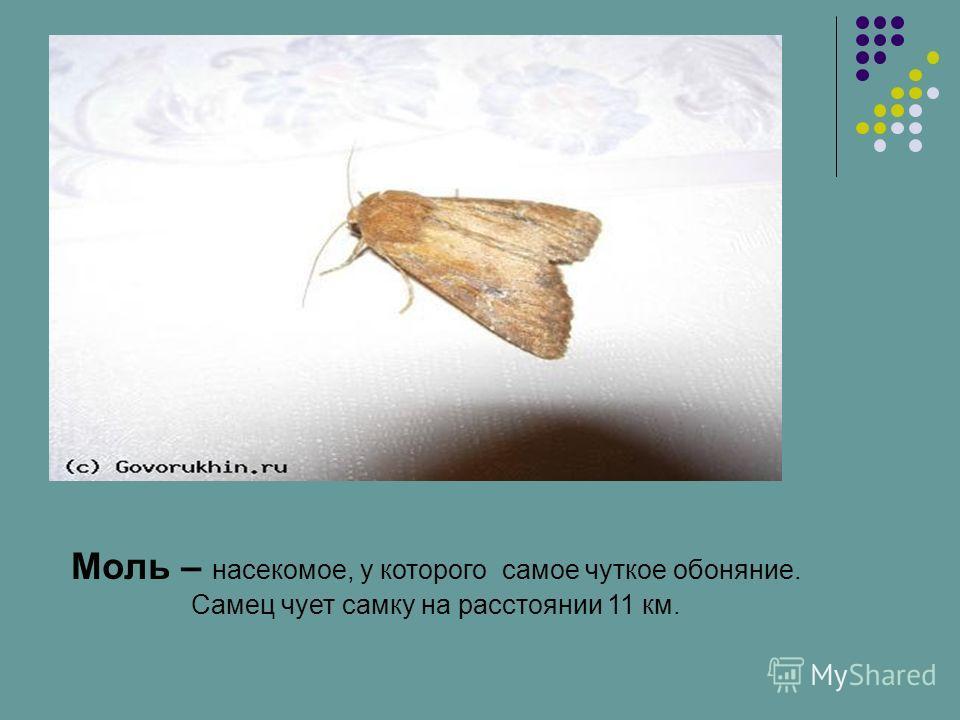 Моль – насекомое, у которого самое чуткое обоняние. Самец чует самку на расстоянии 11 км.