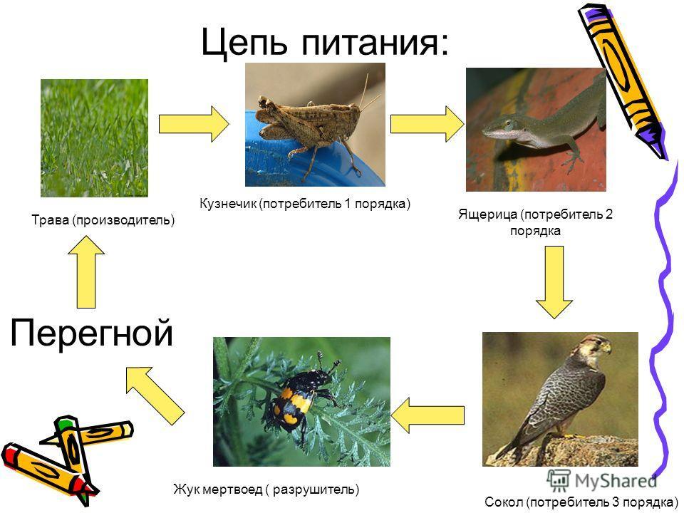 Цепь питания: Трава (производитель) Кузнечик (потребитель 1 порядка) Ящерица (потребитель 2 порядка Сокол (потребитель 3 порядка) Жук мертвоед ( разрушитель) Перегной