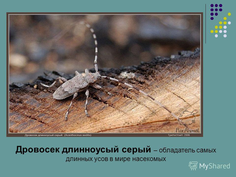 Дровосек длинноусый серый – обладатель самых длинных усов в мире насекомых