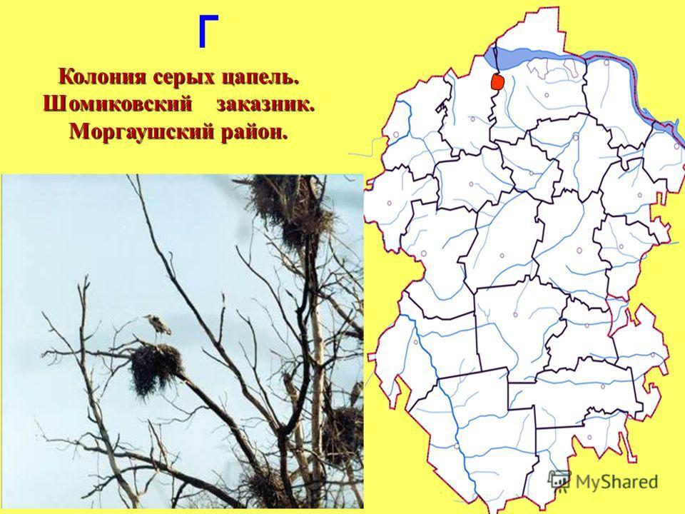 Колония серых цапель. Шомиковский заказник. Моргаушский район.