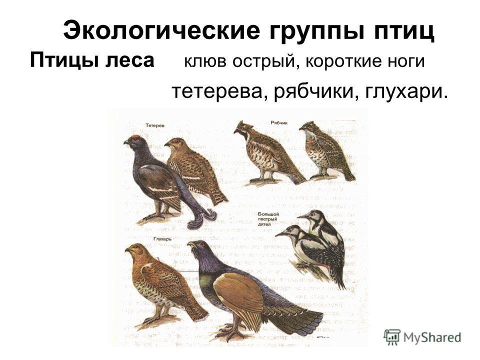 Экологические группы птиц Птицы леса клюв острый, короткие ноги тетерева, рябчики, глухари.