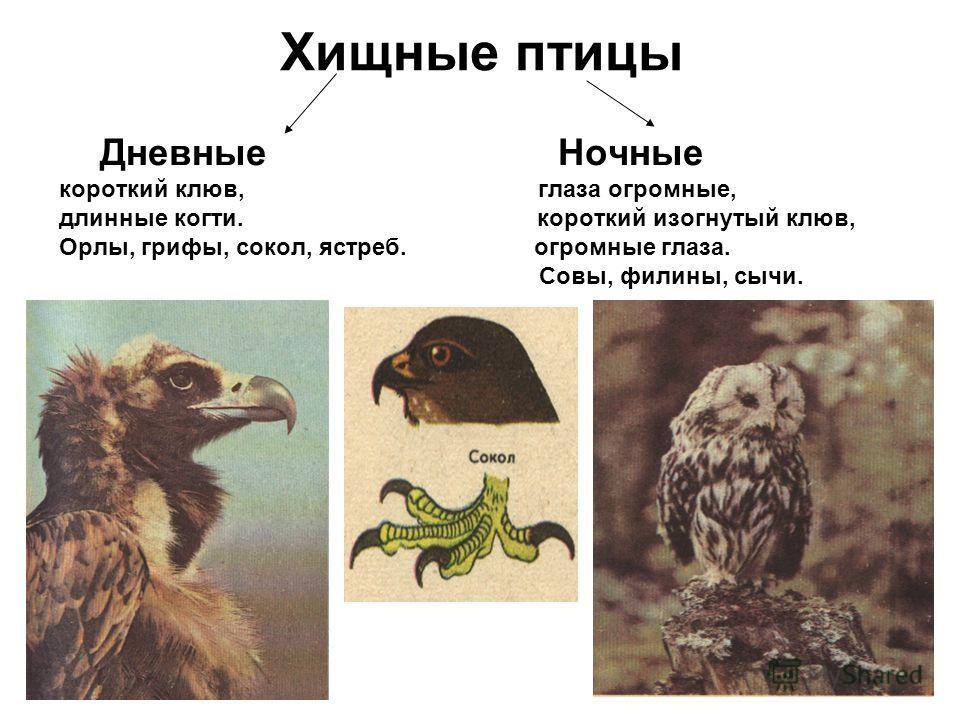 Хищные птицы Дневные Ночные короткий клюв, глаза огромные, длинные когти. короткий изогнутый клюв, Орлы, грифы, сокол, ястреб. огромные глаза. Совы, филины, сычи.