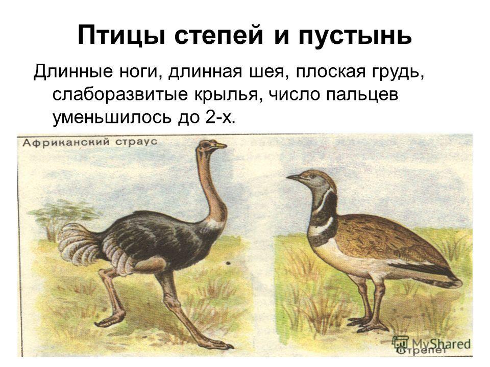Птицы степей и пустынь Длинные ноги, длинная шея, плоская грудь, слаборазвитые крылья, число пальцев уменьшилось до 2-х.