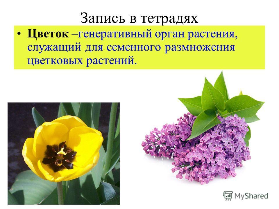 Запись в тетрадях Цветок –генеративный орган растения, служащий для семенного размножения цветковых растений.