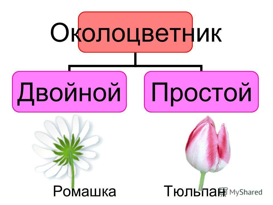 Ромашка Тюльпан Околоцветник ДвойнойПростой