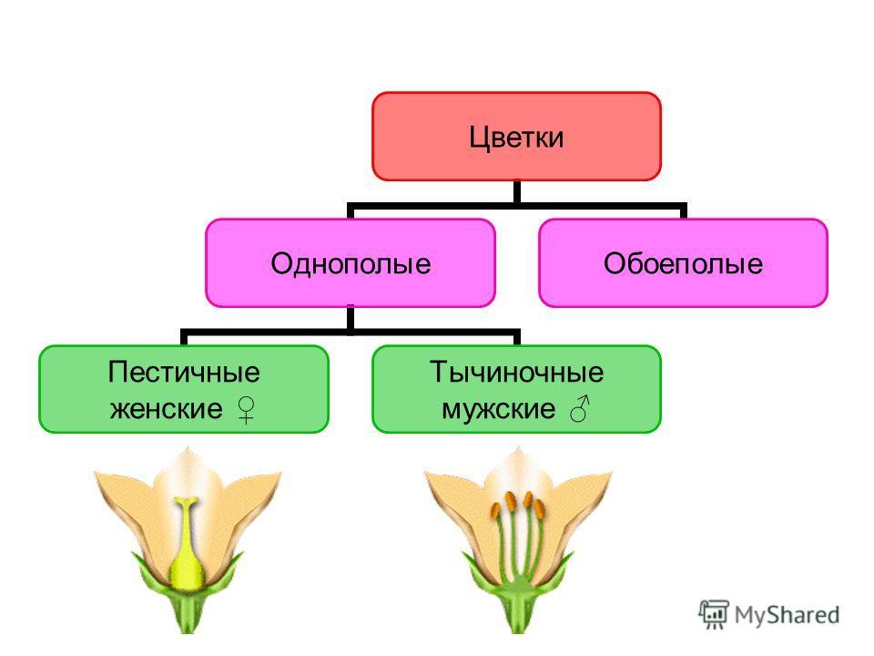 Цветки Однополые Пестичные женские Тычиночные мужские Обоеполые