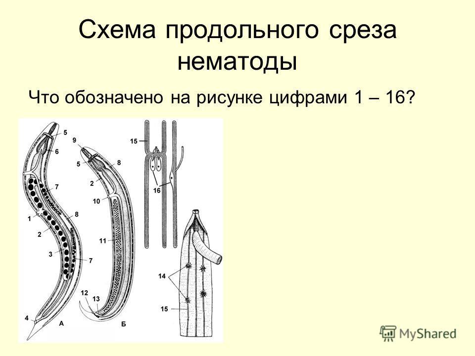 Схема продольного среза нематоды Что обозначено на рисунке цифрами 1 – 16?