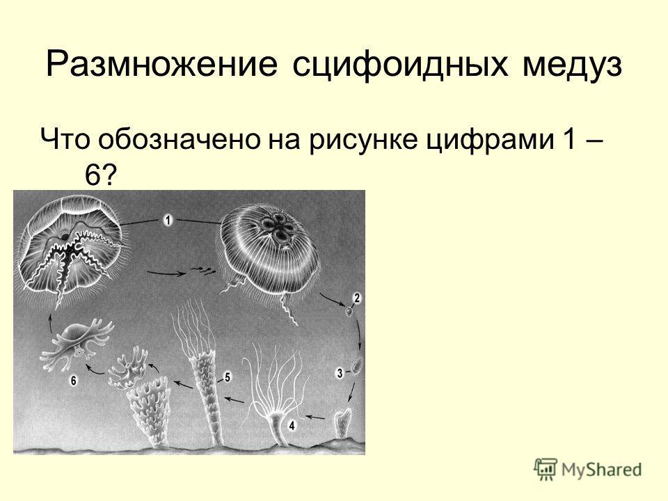 Размножение сцифоидных медуз Что обозначено на рисунке цифрами 1 – 6?