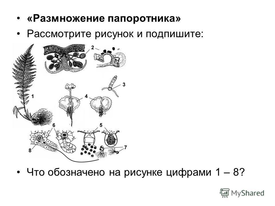 «Размножение папоротника» Рассмотрите рисунок и подпишите: Что обозначено на рисунке цифрами 1 – 8?