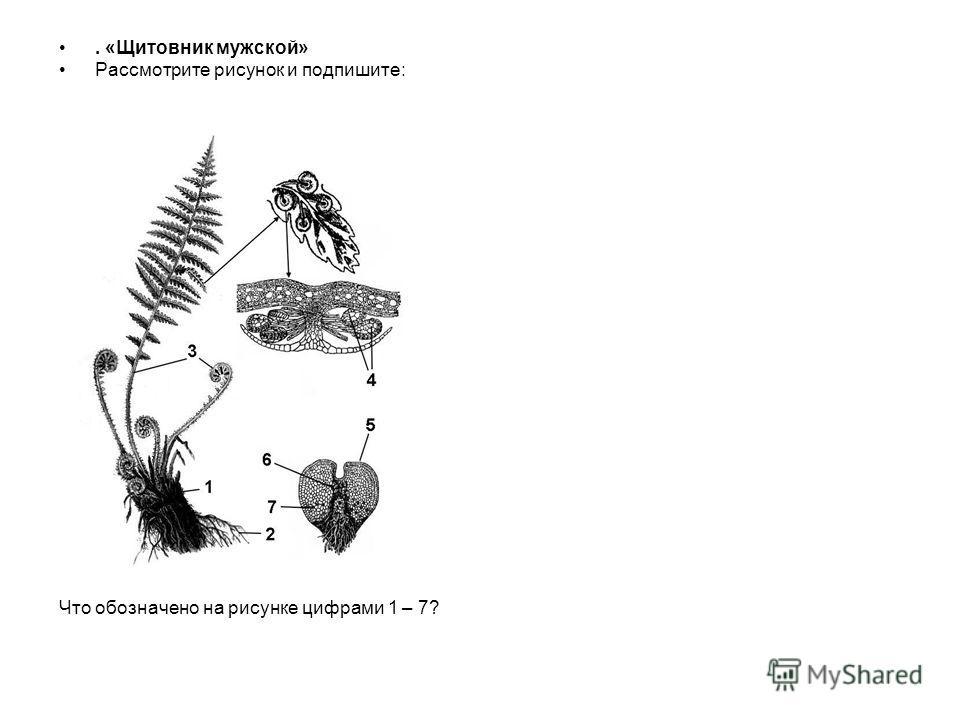 . «Щитовник мужской» Рассмотрите рисунок и подпишите: Что обозначено на рисунке цифрами 1 – 7?