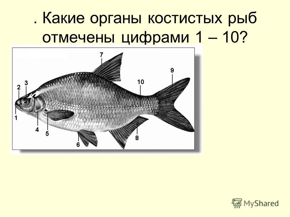 . Какие органы костистых рыб отмечены цифрами 1 – 10?
