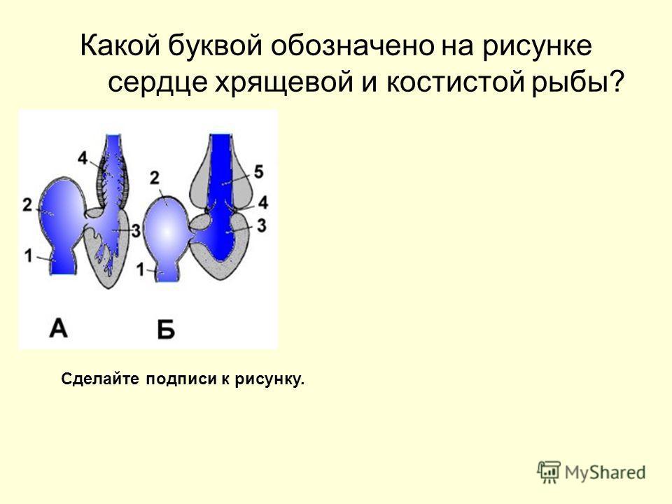 Какой буквой обозначено на рисунке сердце хрящевой и костистой рыбы? Сделайте подписи к рисунку.