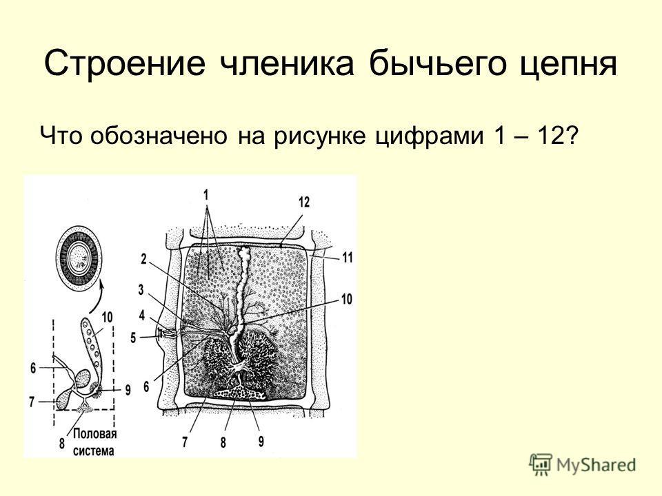 Строение членика бычьего цепня Что обозначено на рисунке цифрами 1 – 12?