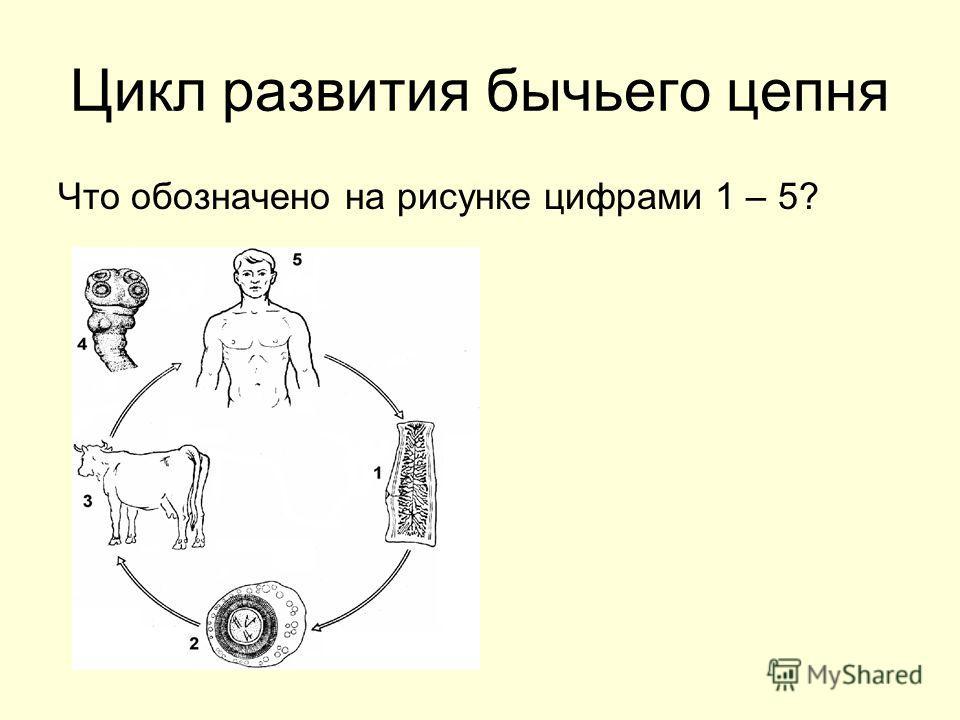 Цикл развития бычьего цепня Что обозначено на рисунке цифрами 1 – 5?