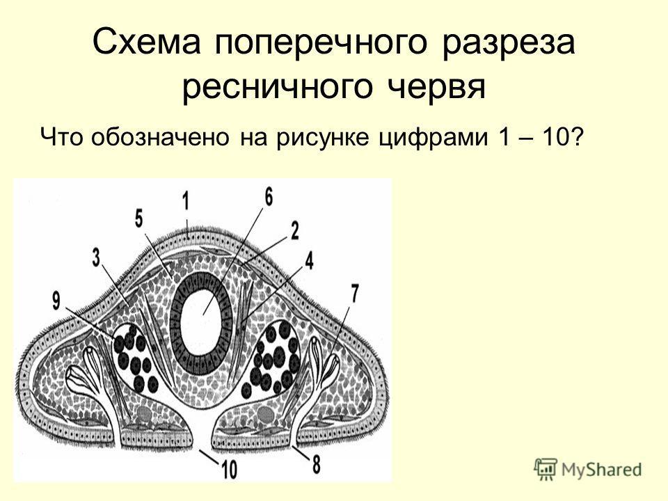 Схема поперечного разреза ресничного червя Что обозначено на рисунке цифрами 1 – 10?