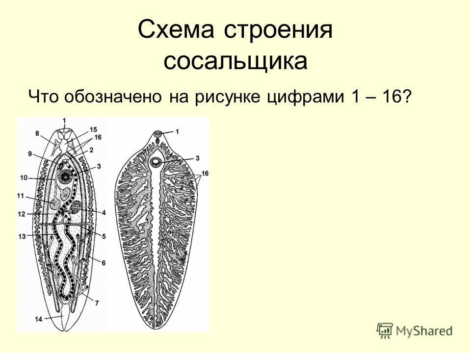 Схема строения сосальщика Что обозначено на рисунке цифрами 1 – 16?