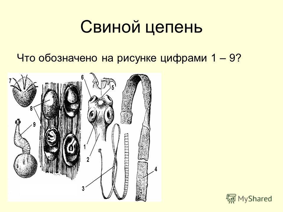 Свиной цепень Что обозначено на рисунке цифрами 1 – 9?