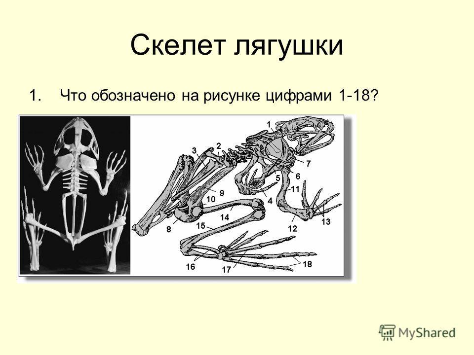 Скелет лягушки 1.Что обозначено на рисунке цифрами 1-18?