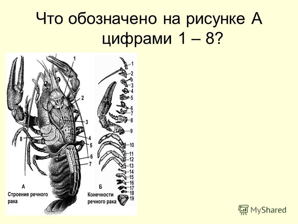 Что обозначено на рисунке А цифрами 1 – 8?