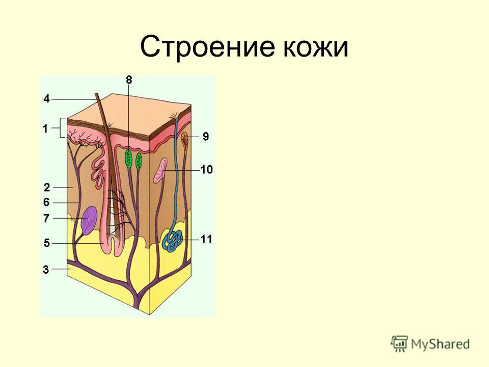 Строение кожи