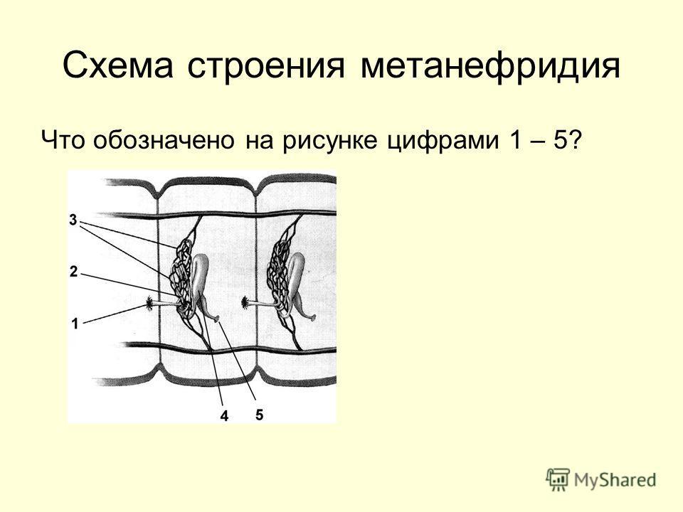 Схема строения метанефридия Что обозначено на рисунке цифрами 1 – 5?