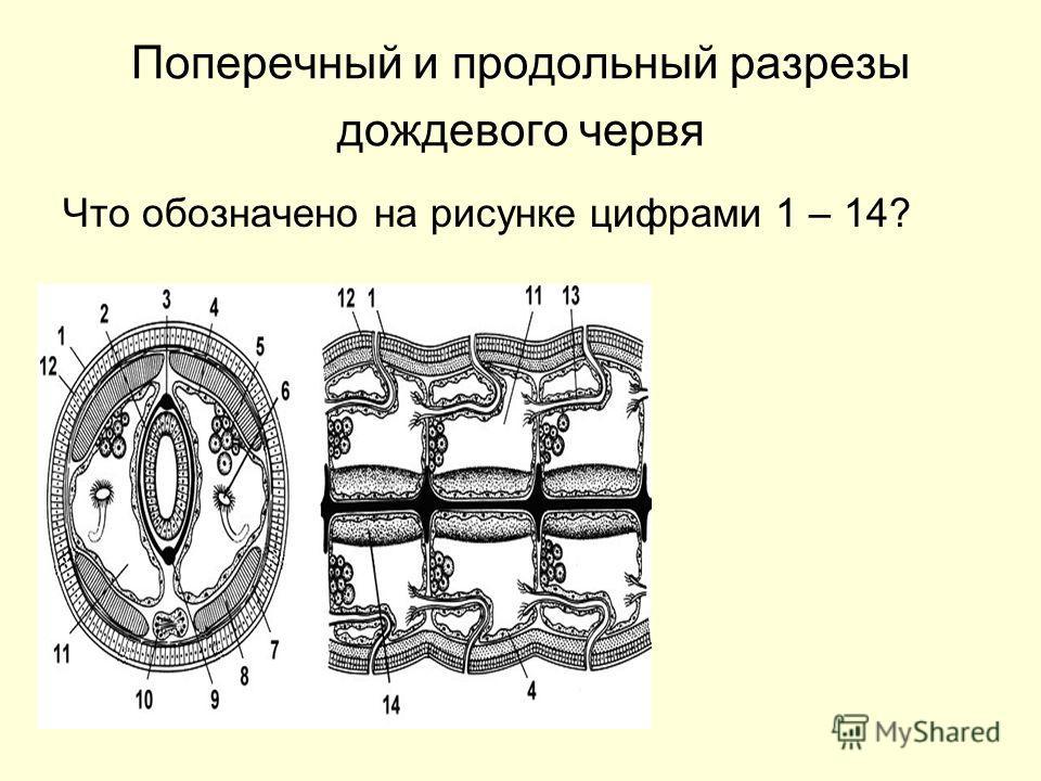 Поперечный и продольный разрезы дождевого червя Что обозначено на рисунке цифрами 1 – 14?