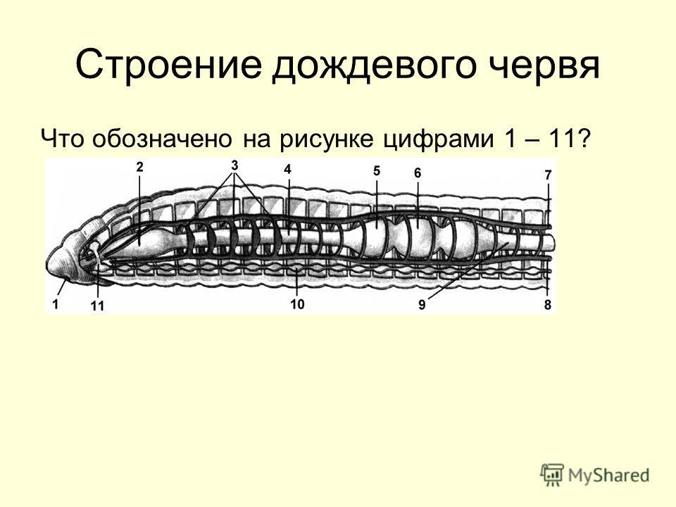 Строение дождевого червя Что обозначено на рисунке цифрами 1 – 11?