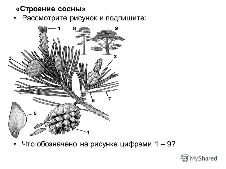 «Строение сосны» Рассмотрите рисунок и подпишите: Что обозначено на рисунке цифрами 1 – 9?