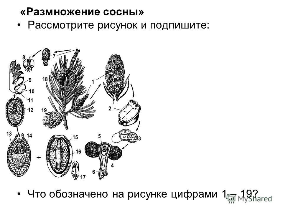 «Размножение сосны» Рассмотрите рисунок и подпишите: Что обозначено на рисунке цифрами 1 – 19?